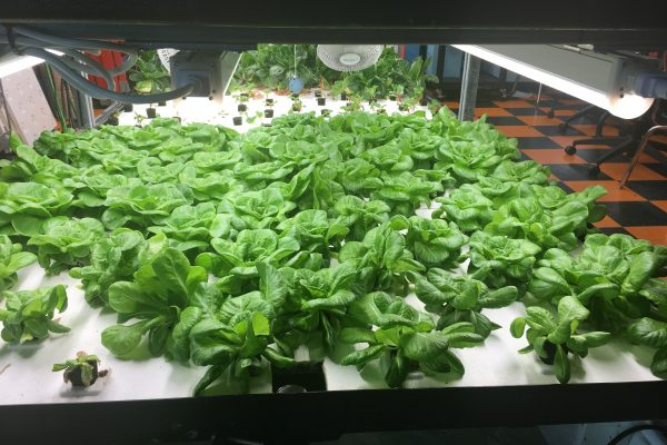 How Hydroponic School Gardens Can Cultivate Food Justice, Year-Round   MindShift